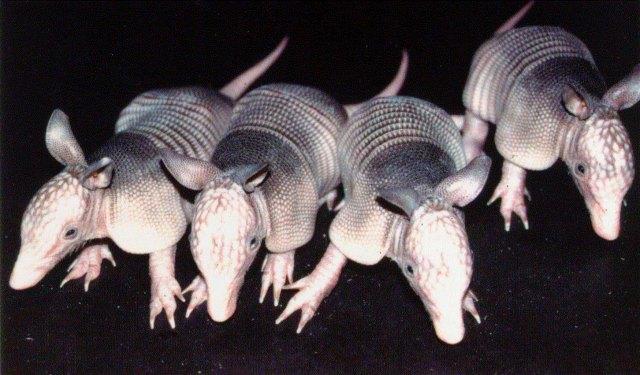 armadillo-quads