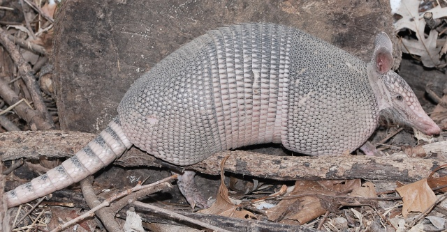 armadillo-right-side-6-jan-2010