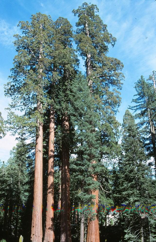 6-88-110redwoods