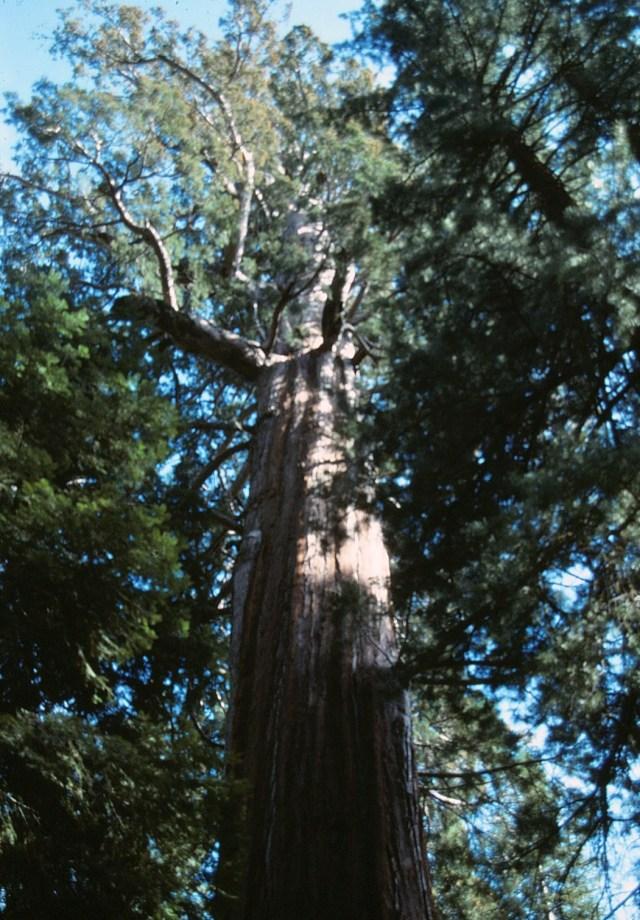 6-88-111redwoods