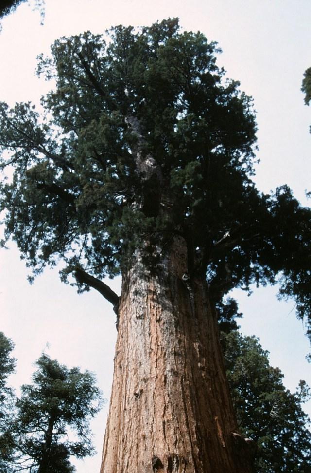 6-88-132sequoias