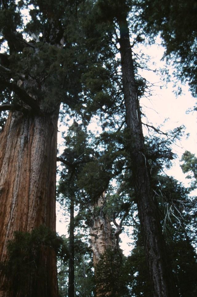 6-88-134sequoias