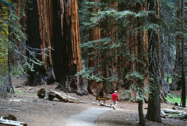 6-88-135sequoias
