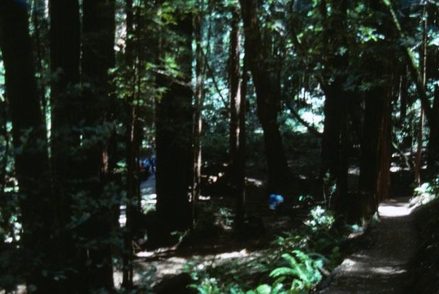 6-88-16muirwoods